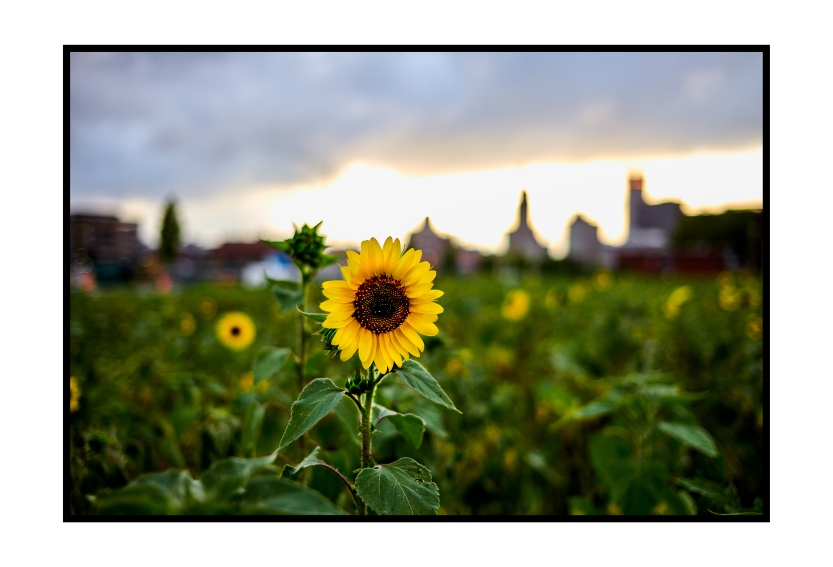 Sunflower in the City