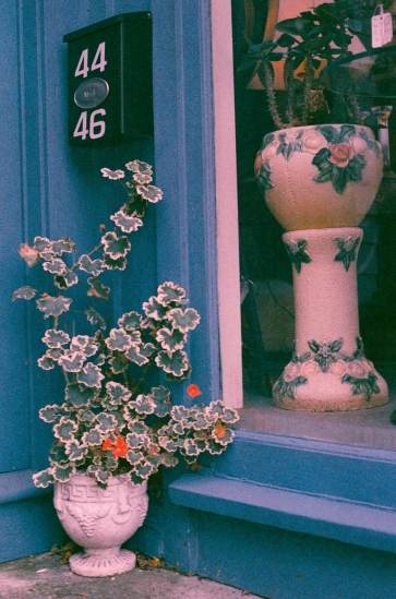 Geraniums and Roses